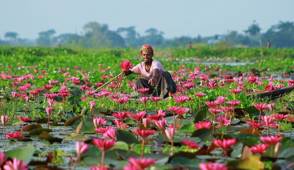 Красный лотос из Бангладеш