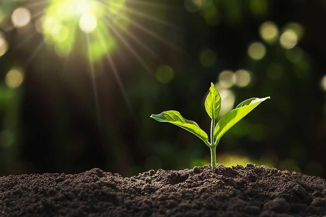 Как растения производят пищу