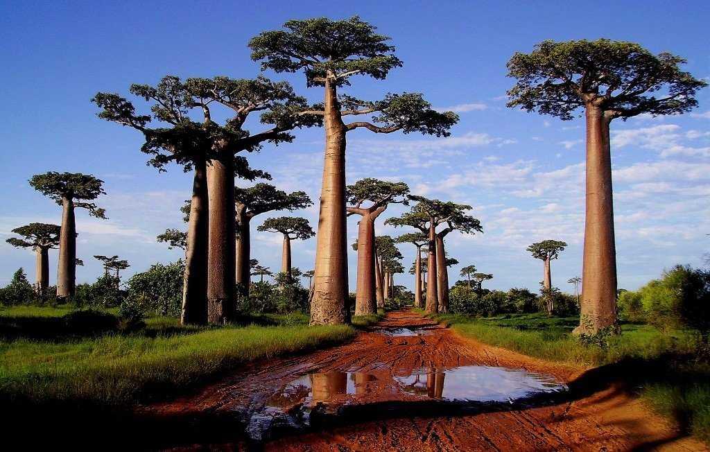 Аллея Баобабов Мадагаскар