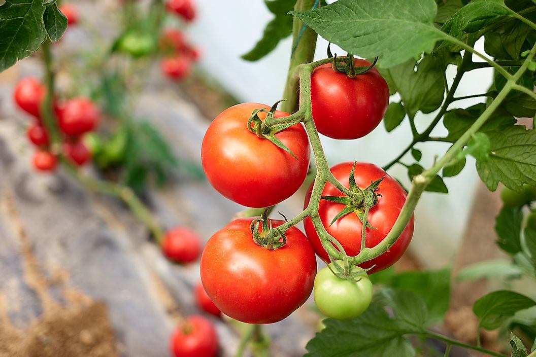 Крупнейшие производители томатов в мире