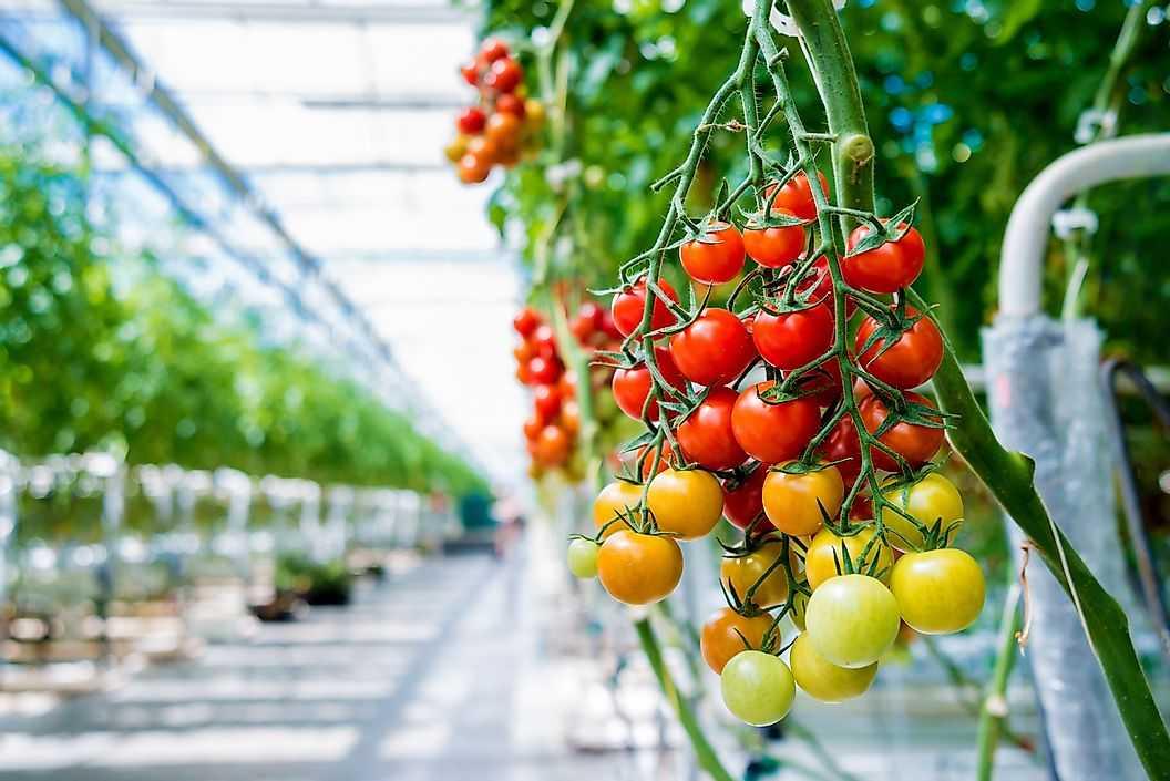 Страны где производят больше всего помидоров