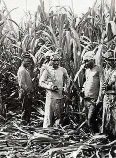 Ямайка рабы на плантациях