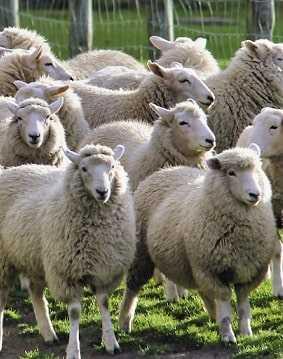 Разведение овец на Фолклендских островах