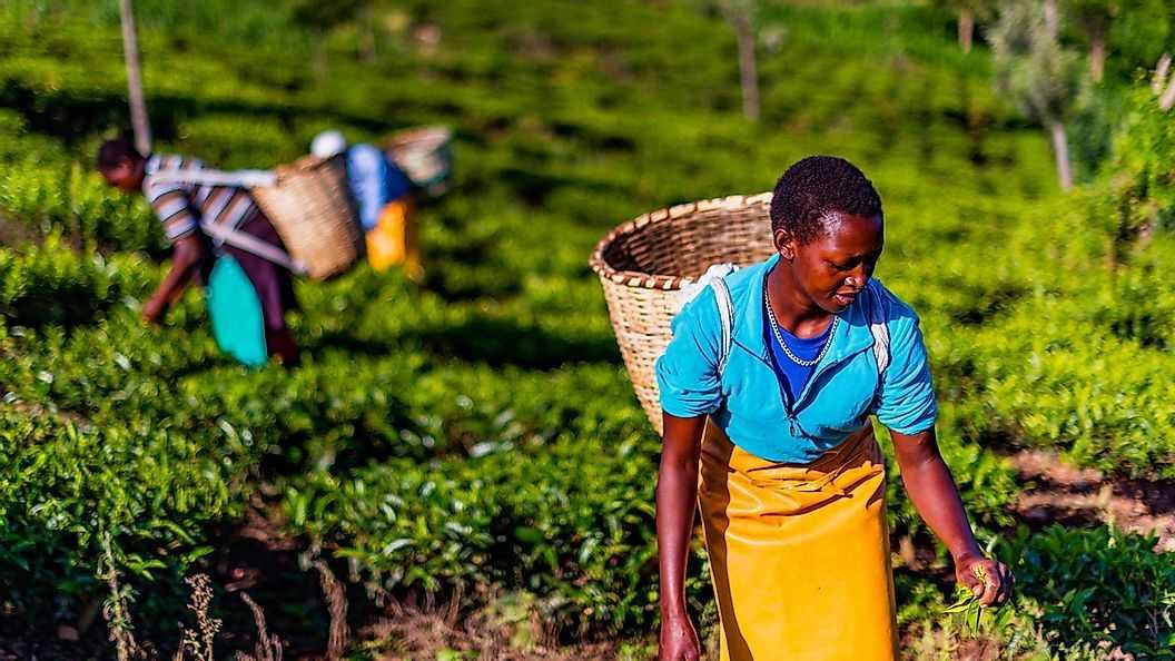 Страны где производят больше всего чая в мире